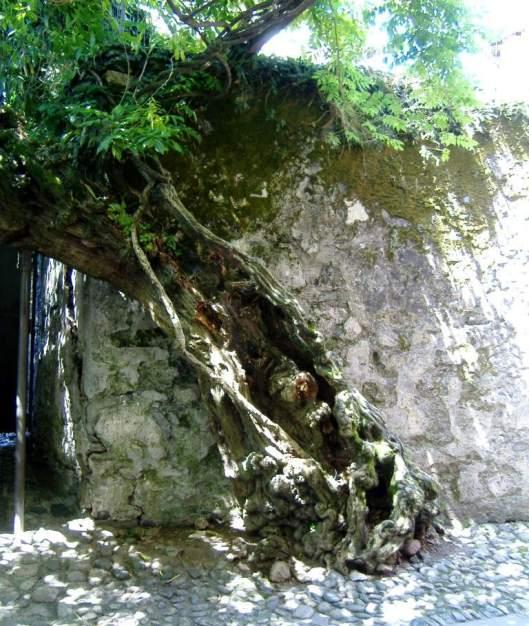 200yr old wisteria
