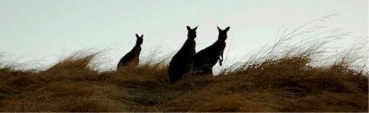 KangaroosEvening_000