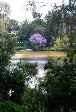 Jacaranda Trees on Brisbane River